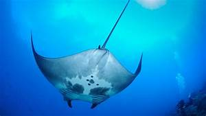 In A First  Scientists Discover Oceanic Manta Ray Nursery