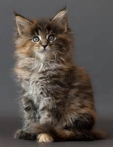 maine coon cat breeders all the beautiful cat breeds in the world all2need