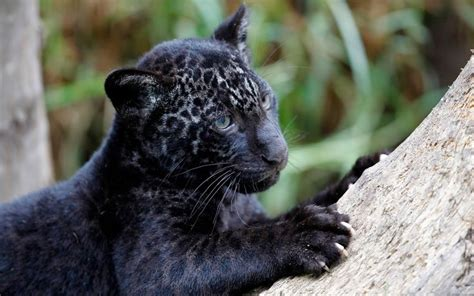 Black Jaguar by Black Jaguar Cub Cats Black Jaguar Jaguar