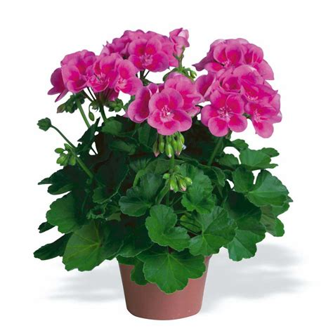 picture of geranium flower geranium mini pig toxic food plants pinterest flower fairies spreads and sun