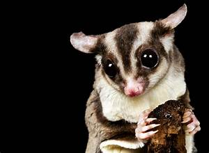 Sugar Gliders - Telling Males from Females