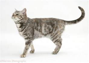 walking cat tabby cat walking photo wp18386