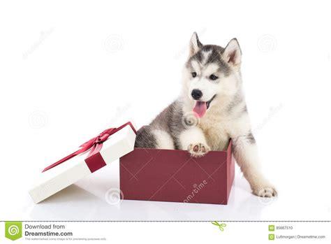 siberian husky puppy sitting   gift box stock photo
