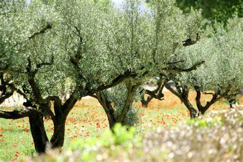 olivier cuisine l 39 acacia l 39 olivier et le laurier le de rosie