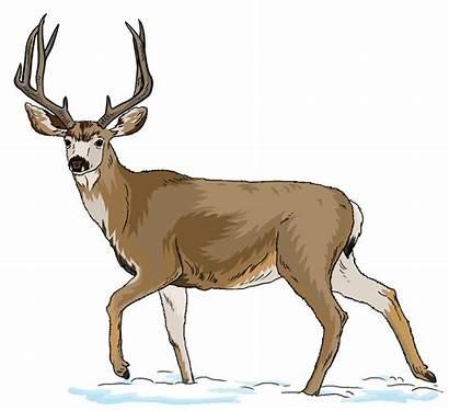 Clipart Deer Realistic Clip Transparent Mule Webstockreview