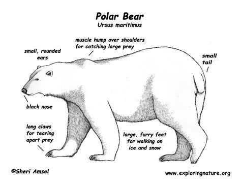 polar bear anatomy polar bear pinterest polar bear