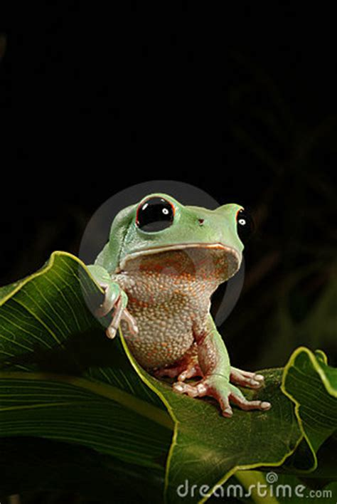 tree frog royalty  stock photography image