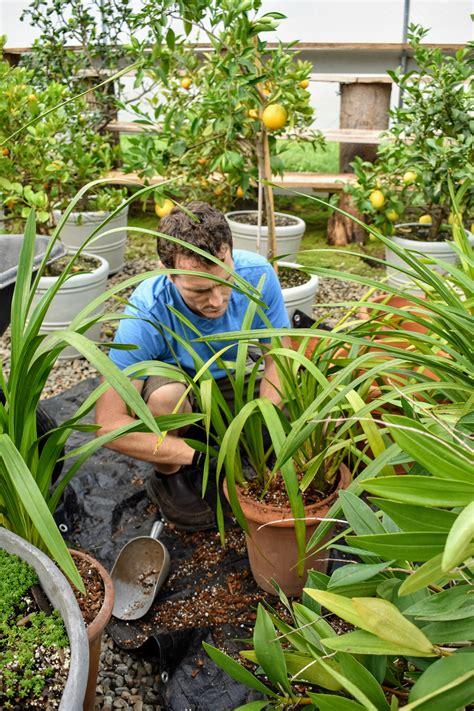 cymbidium repotting orchids cymbidiums feed dark leaves