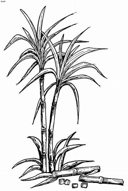Sugar Sugarcane Clipart Drawing Plant Cane Drawings
