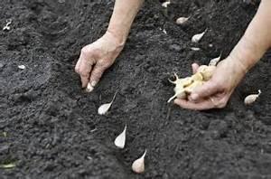 Planter Ail Rose : il est temps de planter l 39 ail infos jardin t l pro ~ Nature-et-papiers.com Idées de Décoration