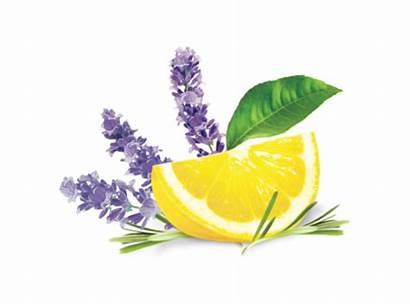 Lavender Lemon Fragrance Illustration