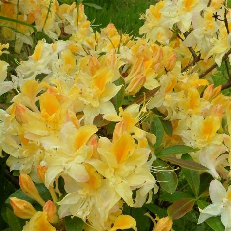northern lights azalea deciduous azalea northern hi lights himalayan garden