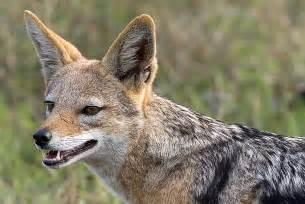 Jackal Animal Information