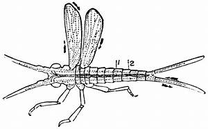 Diagram Of The Circulation Of An Insect