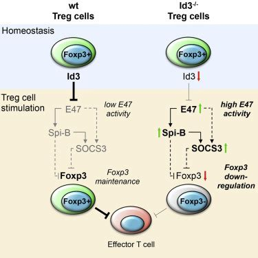 id maintains foxp expression  regulatory  cells