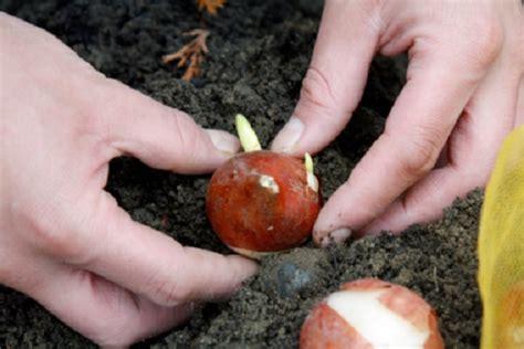 piantare tulipani in vaso 5 bulbi da piantare in autunno fritillaria crocus iris