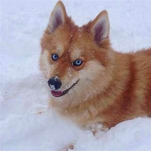 Dogs That Look Like Foxes