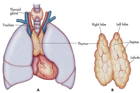 parathyroid glands located endocrine system overview medicinemoggy