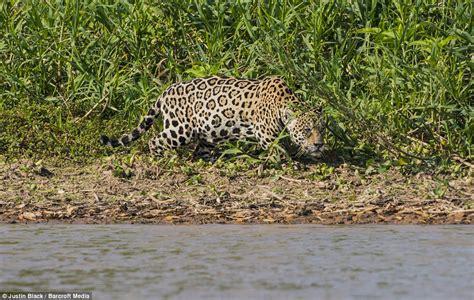 Brutal Moment A Jaguar Stalks And Ambushes A Caiman Before