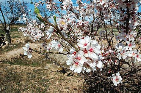 mandorlo da fiore mandorlo alberi da frutto caratteristiche mandorlo
