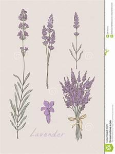 lavender botanical drawing - Google Search | Musings ...