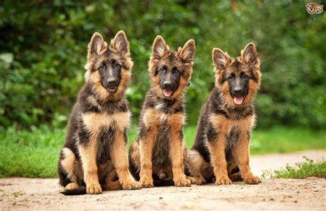 Five universal personality traits of the German shepherd ...