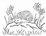 Hedgehog Coloring sketch template
