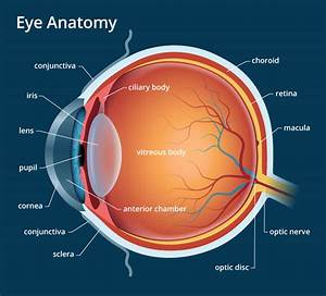 Human Eye Diagram Labeled