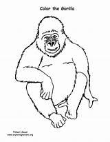 Gorilla Coloring Exploringnature Gorillas Whitesbelfast Credit sketch template