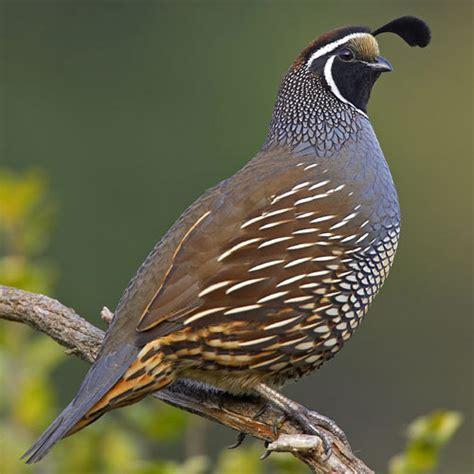 california quail natural history