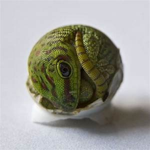 Madagascar giant day gecko hatching | Salamander!& Co ...