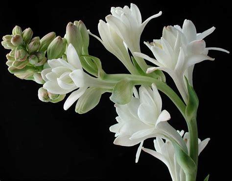 Tanaman Hias Bunga Sedap Malam cara merawat bunga sedap malam tanaman hias bunga buah