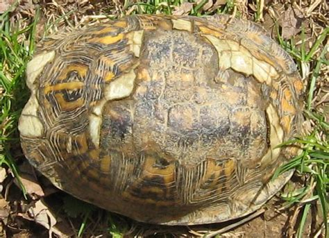 box turtle shell shedding will a damaged shell regrow booboo s boxies turtle forum