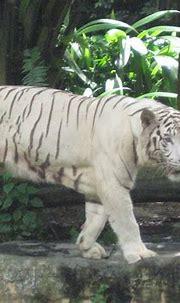 File:White tigers, Singapore Zoo 2.JPG