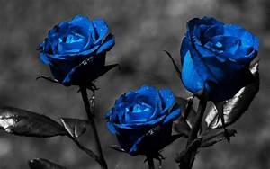 Dark Blue Roses Wallpaper - WallpaperSafari