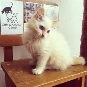 cat cafe sf want a kitten with your latte cat cafes coming to oakland