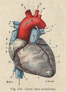 Pin By Josie Kedian On Anatomical Hearts Medical