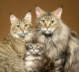 cat family the maine coon family it s like an 80 s family photo