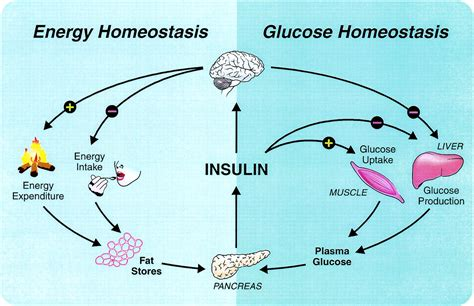 insulin signaling   central nervous system diabetes