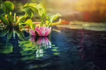 Lotus Flower Flowers Water Lilies Wallpapers Plants