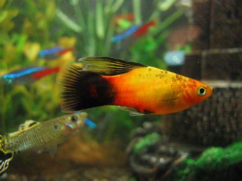 liste des poissons d aquarium d eau douce
