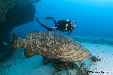 goliath grouper giant atlantic species ocean mag xray underwater eats diver ray golaith