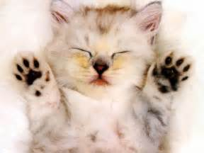 kitty cat pictures sleepy kitten cats wallpaper 630928 fanpop
