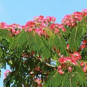 Arbres Fruitiers Nains En Pleine Terre : arbre soie ou albizia 39 ombrella 39 plantes et jardins ~ Premium-room.com Idées de Décoration