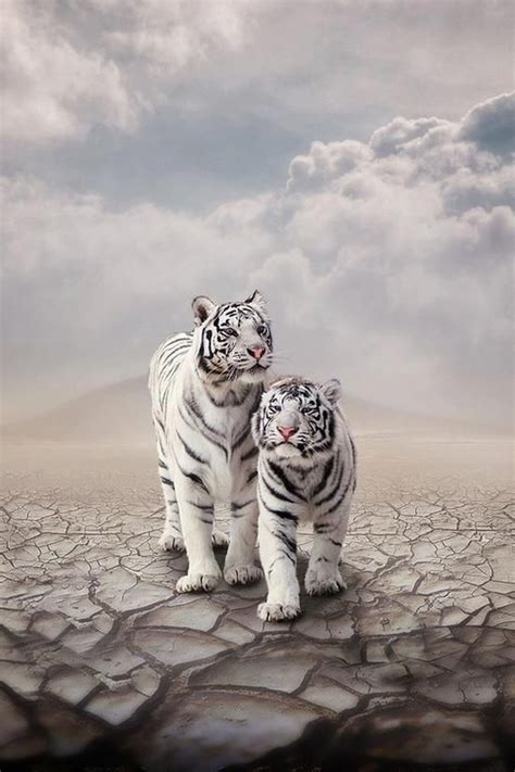 Beautiful White Tigers Cats Pinterest