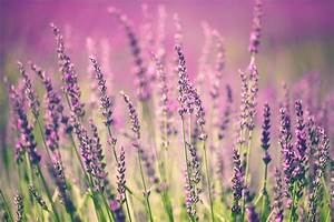 Lavender flower - Custom Wallpaper