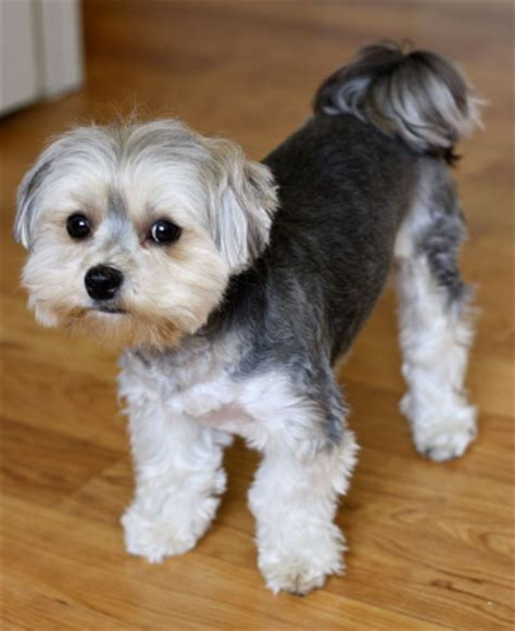 do morkie puppies shed morkie breed temperament information diet and