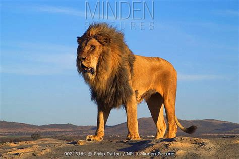 add in males minden pictures stock photos standing