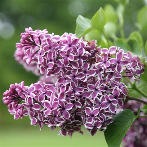 fiori lillà colore lilla come usarlo per arredare casa