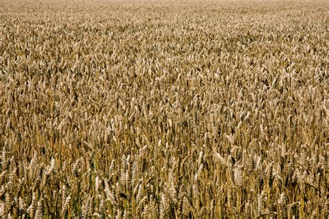 wheat background  stock photo public domain pictures